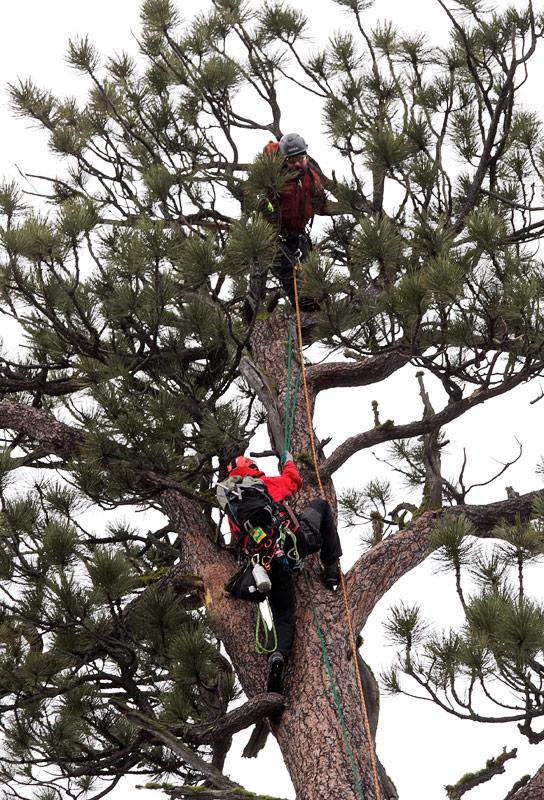 big-tree-la-pine-04-1