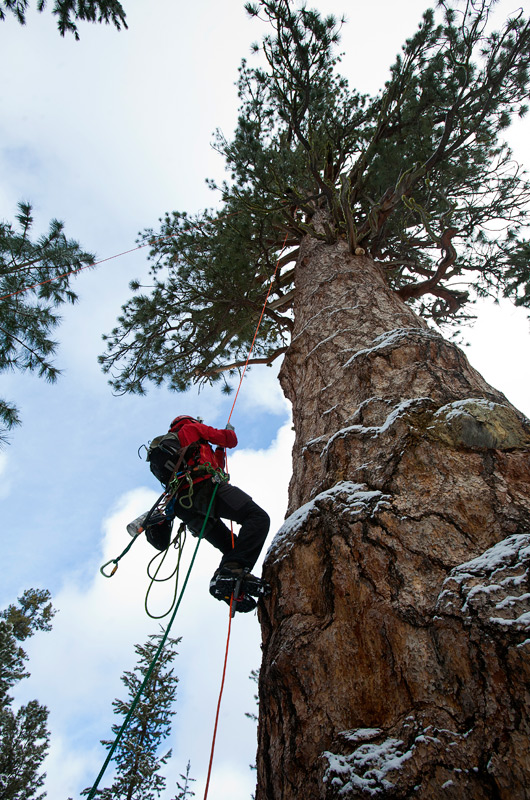 big-tree-la-pine-22-1
