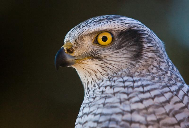 falconer04